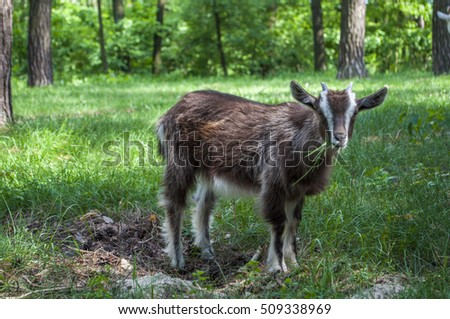 Little brown goat on a grass in the wood