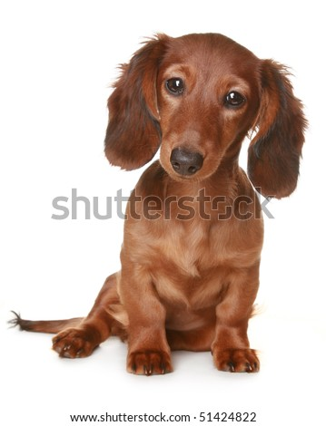 Little brown long haired Dachshund dog - stock photo