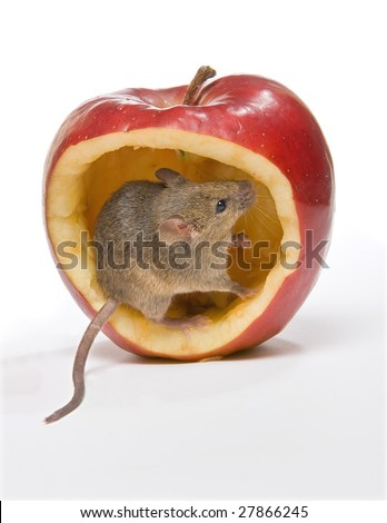 Little brown mouse sitting in a big red apple - stock photo
