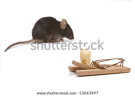 Little brown mouse tempted by the cheese in a mouse trap - stock photo