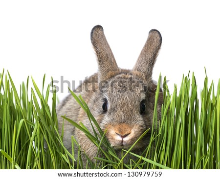 little brown rabbit in spring grass - white background - stock photo