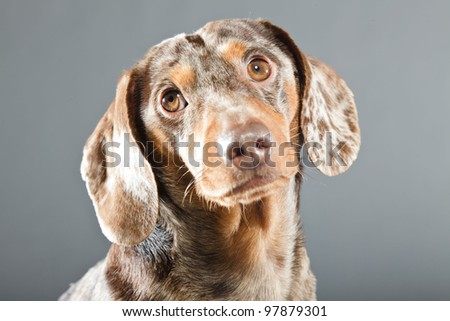 Little brown spotted dachshund isolated on grey background - stock photo