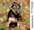 Little brown with black Jack Russel standing in the grass, surrounded by brown leafs in the fall, autumn and holding a leaf in his jaw - stock photo