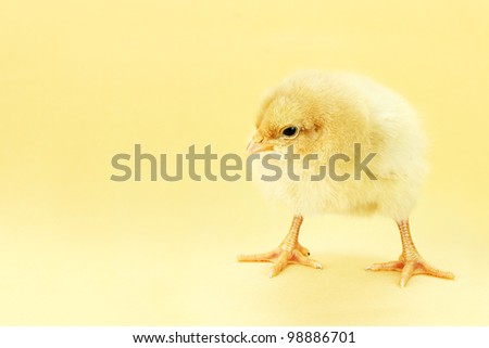 Little Buff Orpington chick against a yellow background with room for copy space.
