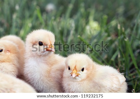 Little Buff Orpington chicks sitting huddled together in the grass. Extreme shallow depth of field. - stock photo