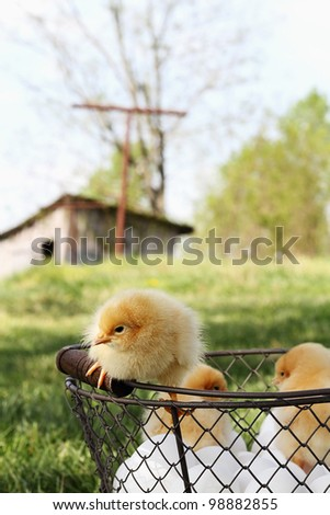 Little Buff Orpington chicks sitting on top of an egg basket with chicken coop in far background. Extreme shallow depth of field. - stock photo