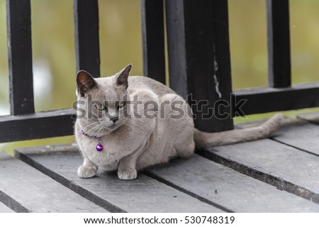 Little Burmese cat