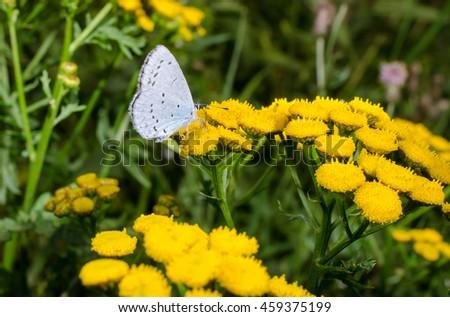 little butterfly, mugwort - stock photo