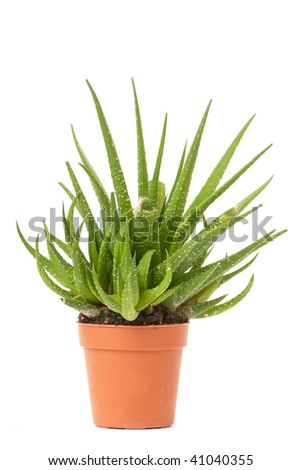 little cactus in small pot isolated on white background - stock photo