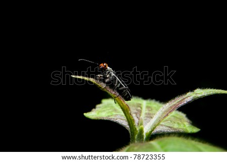Little capricon insect standing on green plant - stock photo