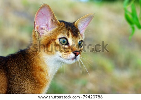 little cat of abyssinian over green grass background - stock photo