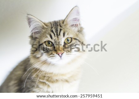little cat of siberian breed, brown version - stock photo
