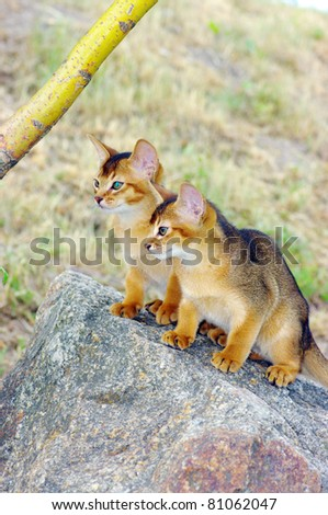little cats of abyssinian over green grass background - stock photo