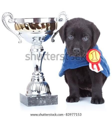 little champion - cute black labrador puppy winning a big trophy on white background - stock photo
