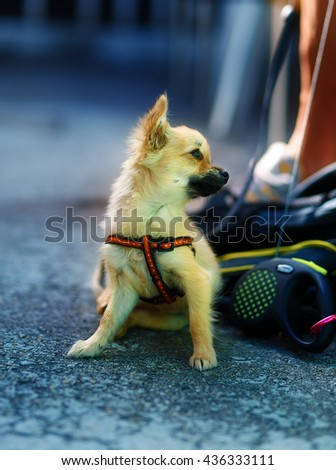 little charming adorable chihuahua puppy on blurred background - stock photo