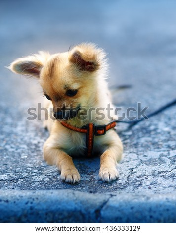little charming adorable chihuahua puppy on blurred background. sitting on the ground - stock photo