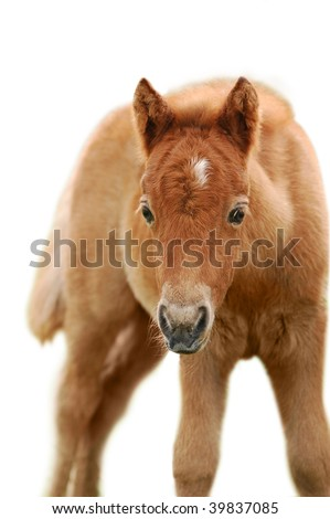 little chestnut shetland pony foal on white - stock photo