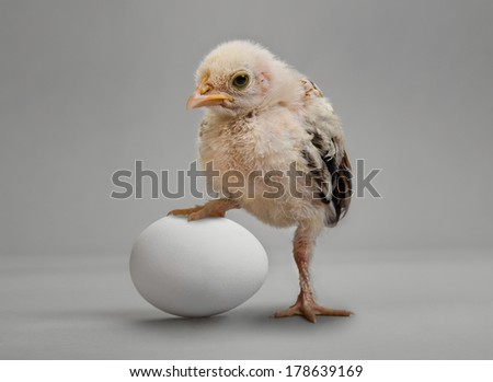 little chick and white egg on grey background - stock photo