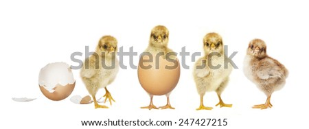 little chick hatching from an egg, others look to
