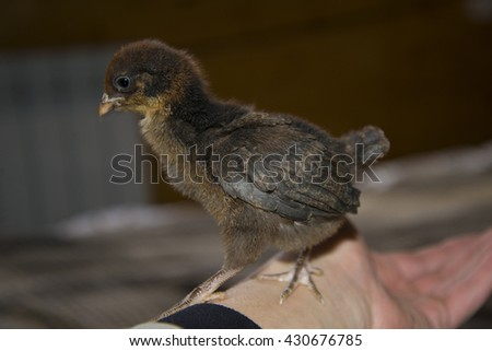 Little chick sitting on my arm. It is warm and good. - stock photo