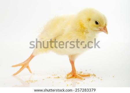 little chicken - stock photo