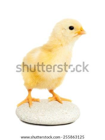 Little chicken animal isolated on white - stock photo