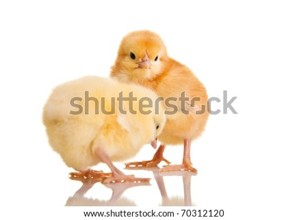 Little chicken animal isolated on white - stock photo