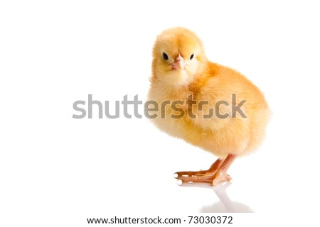 Little chicken animal isolated on white