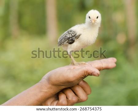 Little chicken in hand - stock photo