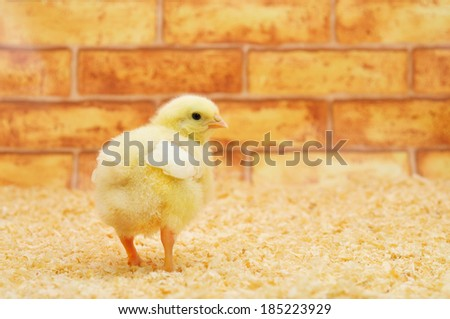Little chicken on a farm. One is standing apart from the bunch.