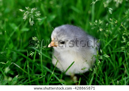 Little chicken on a grass. The first walk