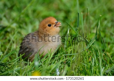 Little chicken on the grass - stock photo
