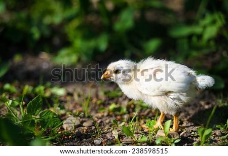Little chicken on the grass - stock photo