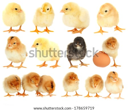 Little chickens isolated on white - stock photo