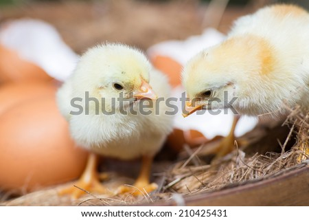 Little chicks in the hay with eggs. Hatching eggs