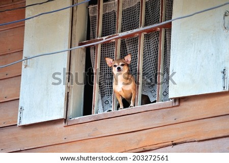 Little Chihuahua at the window - stock photo