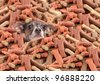 Little chihuahua buried in a large pile of dog bone treats - stock photo