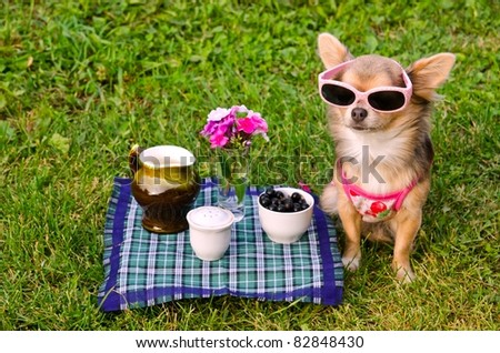 Little chihuahua dog wearing pink t-shirt relaxing in meadow picnic - stock photo
