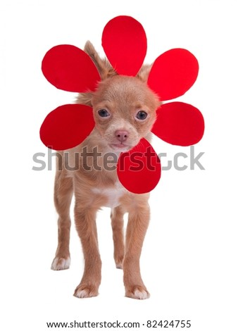 Little chihuahua puppy dressing like a flower isolated on white background - stock photo