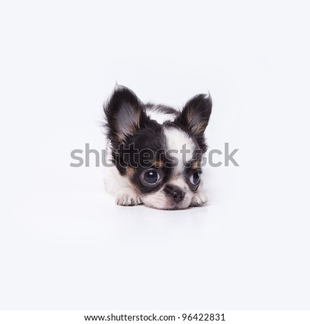 Little chihuahua sleepy - stock photo