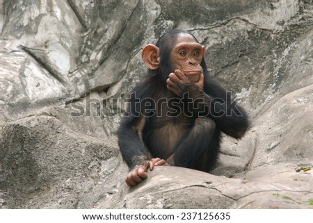 Little chimpanzee (Pan troglodytes).  - stock photo