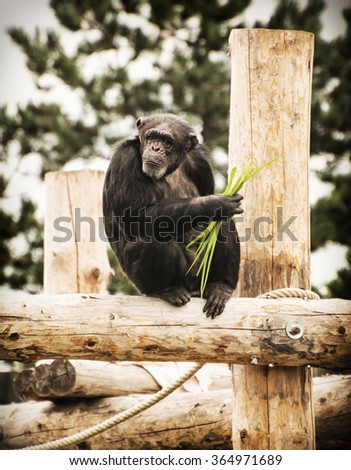 Little chimpanzee (sometimes called chimp) is sitting on the wooden construction. Animal scene.  - stock photo
