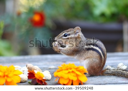 little chipmunk eating his nuts on a outside table with flowers - stock photo