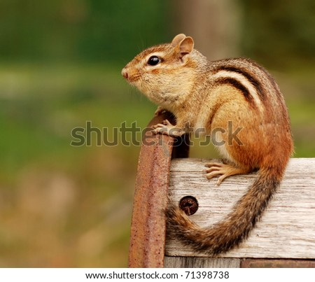 little chipmunk sitting on a bench - stock photo