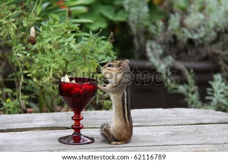 little chipmunk upright for peanuts from a red glass - stock photo