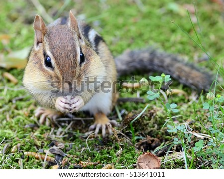 Little chipmunk with full cheek pouches eating
