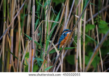 little colorful bird Kingfisher in wetland canes habitat