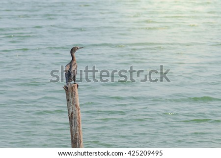 Little cormorant, Javanese cormorant in nature