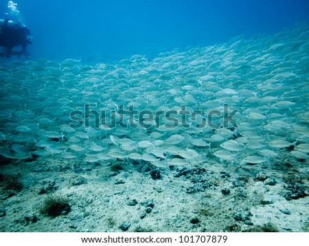 LITTLE CORN ISLAND, NICARAGUA: School of tomtae grunt fish, Haemulon aurolineatum, swim past diver on coral reef. - stock photo