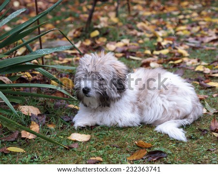 Little Coton de Tulear dog in the garden. Autumn Vegetation and first snow flakes - stock photo